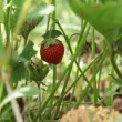 Strawberry — Stock Video