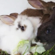 Stock Video: Rabbit family feeding cabbage leaves