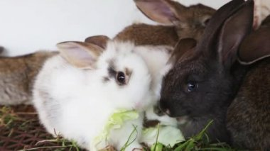 Rabbit family feeding cabbage leaves — Stock Video