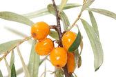 Plody moře rakytníkový closeup — Stock fotografie