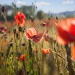 Close-up Poppy Background — Stock Photo