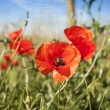 Poppy in a summer meadow — Stockfoto