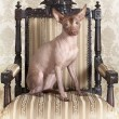 Xoloitzcuintle dog sitting on an antique chair — Stock Photo