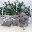 Two months old Thai ridgeback puppy with Christmas basket — Stock Photo #37586347