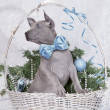 Thai ridgeback puppy in a basket — Stock Photo