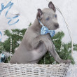 Thai ridgeback puppy in a basket. Two months old — Stock Photo