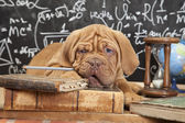 French Mastiff puppy with books — Stock Photo