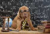 French Mastiff puppy in glasses with books — Stock Photo