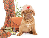 Puppy of French Mastiff breed  — Stock Photo