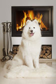 Samoyed dog by home fireplace — Stock Photo