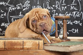 French Mastiff puppy and pile of books — Stock Photo
