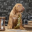 French Mastiff puppy in front of blackboard — Stock Photo