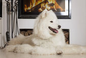 Samoyed dog at home by fireplace — Stock Photo