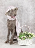 Wirehaired Slovakian pointer dog with flowers — Stockfoto