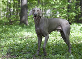 Shorthaired Weimaraner dog outdoor — Stock Photo