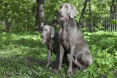 Shorthaired Weimaraner dogs outdoor — Stock Photo