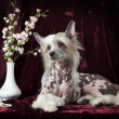 ������, ������: Hairless Chinese Crested dog in front of vinous background