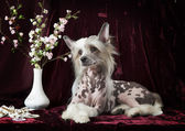 Hairless Chinese Crested dog in front of vinous background — Stock Photo