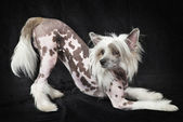 Hairless Chinese Crested dog, 1,5 years old — Stock Photo