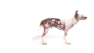 Hairless Chinese Crested dog chasing its own tail — Stockvideo