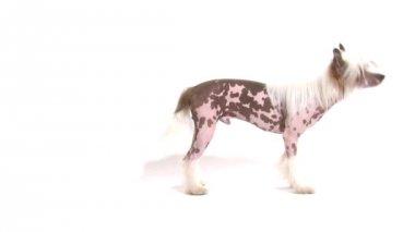 Kendi kuyruğunu kovalayan tüysüz çin tepeli köpeği — Stok video