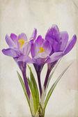 Watercolor purple crocus — Stock Photo