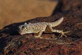 Gecko del desierto — Foto de Stock