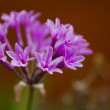 Wild Garlic Purple Flower (Allium Tulbaghia Violacea) — Stock Photo