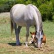 Arabian Mare and foal — Stock Photo