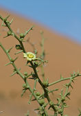 Desert !Nara Plant Flower (Acanthosicyos Horridus) — Stock Photo