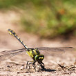 Green dragonfly — Stock Photo