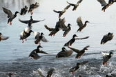 Ducks starting to fly — Stock Photo
