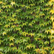 Royalty-Free Stock Photo: Wall covered with ivy