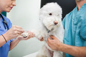 Dog Blood Sample — Stock Photo