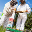 Beekeepers Inspecting Honeycomb Frame — Stock Photo