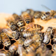 Queen Bee on Honeycomb — Stock Photo