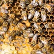 Stock Photo: Honeybees Swarming On Comb