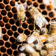 Bees Swarming On Honeycomb — Stock Photo #36045637