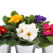 Many Primrose potted plants — Stock Photo #25207215