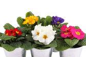 Many Primrose potted plants — Stock Photo