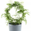 Jasmine - potted plant — Stock Photo