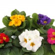 Many Primrose potted plants — Stock Photo #42152207