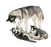 Siberian Husky Family — Stock Photo