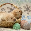 Adorable labrador retriever puppies — Stok fotoğraf