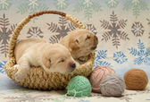 очаровательны лабрадор ретривер щенки — Стоковое фото