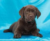 шоколадный лабрадор ретривер щенок — Стоковое фото