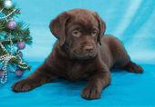 Chocolate labrador retriever cachorro — Foto de Stock