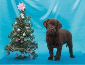 Chocolade labrador retriever pup — Stockfoto