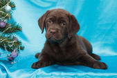 čokoládový labradorský retrívr štěně — Stock fotografie