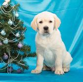 Chocolate labrador retriever puppy — Stock Photo